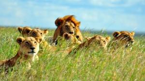 A_Pride_Of_Lions._Serengeti_National_Park,_Tanzania_800