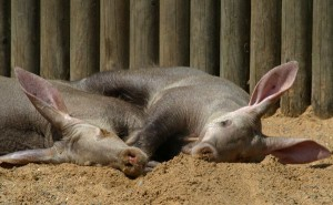 Aardvark Facts and Information