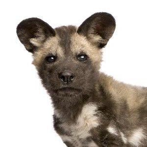 African Wild Dog Cub