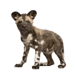 African Wild Dog Cub Facts