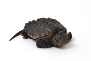 Alligator_Snapping_Turtle_400