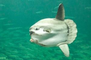 Ocean Sunfish Facts