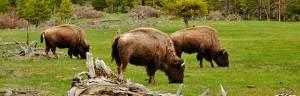American_Bison-