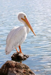 American White Pelican Facts