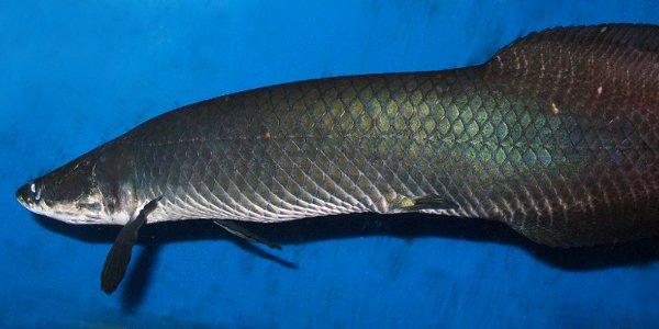 Baby Arapaima Arapaima fish facts