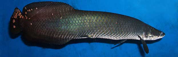 arapaima fish facts and information arapaima gigas introduction to ...