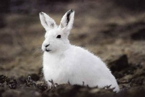 Arctic Hare Information