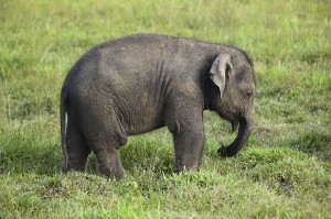 Asian Elephant Calf Facts
