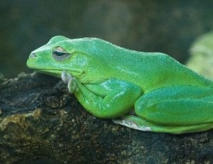 Australian Green Frog