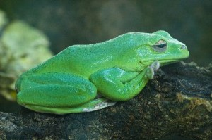 Australian_Green_Frog_400