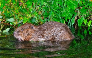 North American Beaver Facts