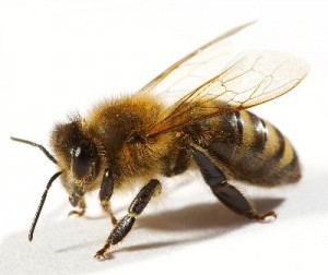 Bee_On_White_400