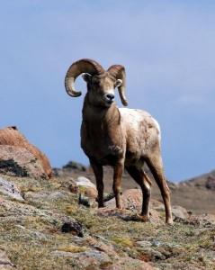 Bighorn Sheep Facts