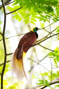 Bird of Paradise Facts