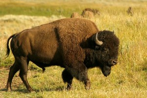 Wood Bison Facts
