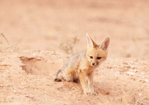 Black-Backed Jackal Pup Facts