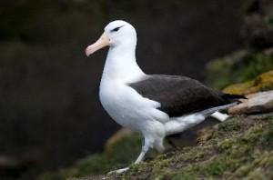 Black-Browed_Albatross_Adult_400