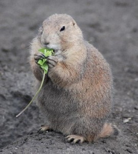 Black-Tailed_Prairie_Dog_Cynomys_Ludovicianus_Eating_400
