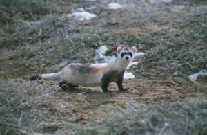 Black footed ferret 2