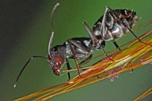 Black_Ants_In_The_Gardens__400