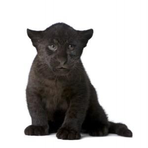 Black Jaguar Cub Facts
