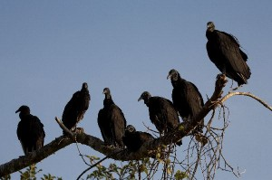 Black Vulture Information