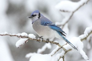 Blue Jay Facts
