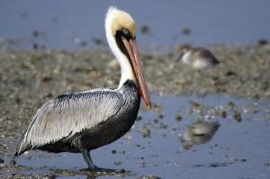 Brown Pelican Facts