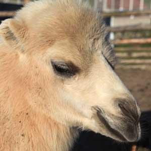 Camel Calf