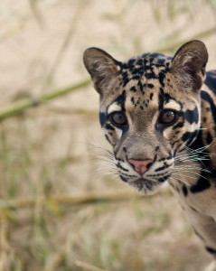 Clouded Leopard Facts