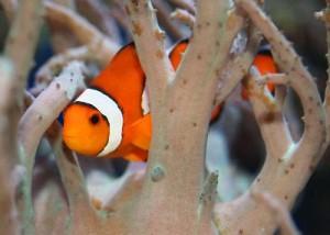 Clownfish_hiding_In_Anemone_400