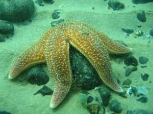 Common_Starfish_400