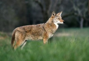 Coyote_In_The_Cove_400