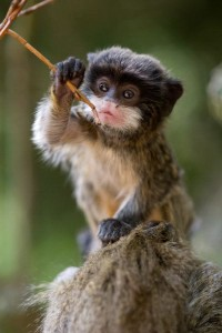 Emperor Tamarin Infant Facts