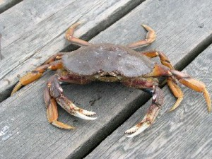 Dungeness_Crab_400