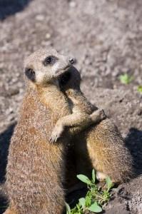 Embracing_Meerkats_(Suricata_Suricatta)_400