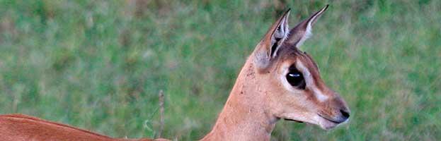 Gazelle Calf