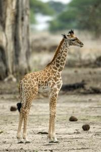 Giraffe Calf Facts