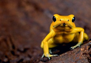 Golden Poison Frog Facts