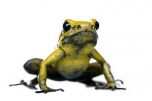 Golden_Poison_Frog,_Against_White_Background_400