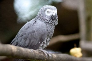 Gray_Parrot_400