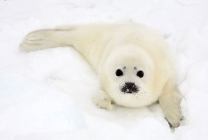 Harp Seal Pup Facts