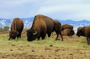 American ]Bison Facts and Information