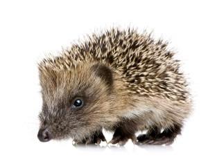 Hedgehog Hoglet Facts