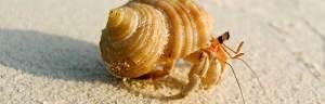 Hermit_Crab