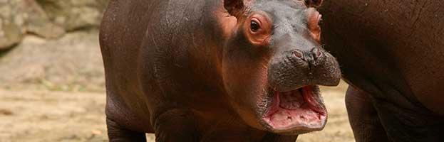 Hippopotamus Calf