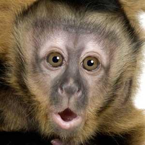 Infant Capuchin Monkeys