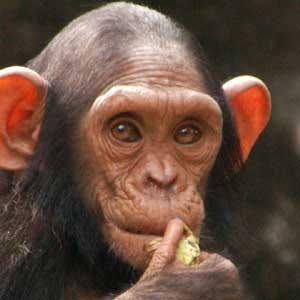 Infant Chimpanzee