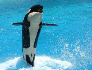 Killer Whale Calf Facts
