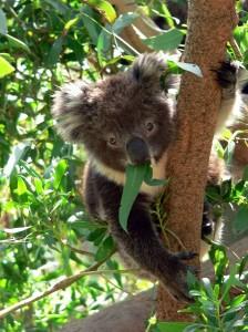 Koala Joey Facts